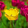Flowers-A-Gene Lentz-Fantastic Tulips