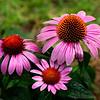 Flowers-A-Neva Scheve-Cone Flowers