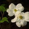 Flowers-A-Neva Scheve-Dogwood Flowers