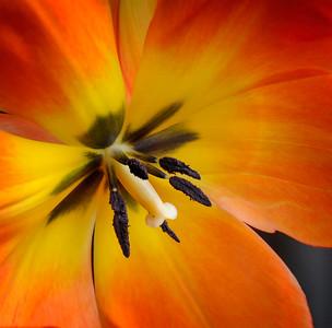 Flowers-B-HM-Tobe Saskor-Tulip