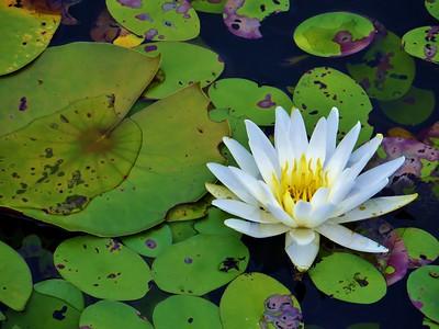 Flowers-B-HM-Cathy Locklear-Lilly Pad
