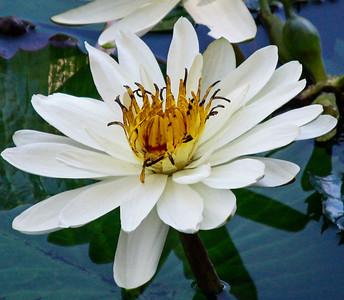 Flowers-B-HM-Jennifer German-Water Lily