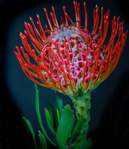 Flowers-A-HM-Jim Davis-Pin Cushion Protea