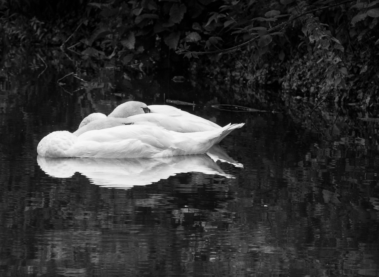 Dreaming swans