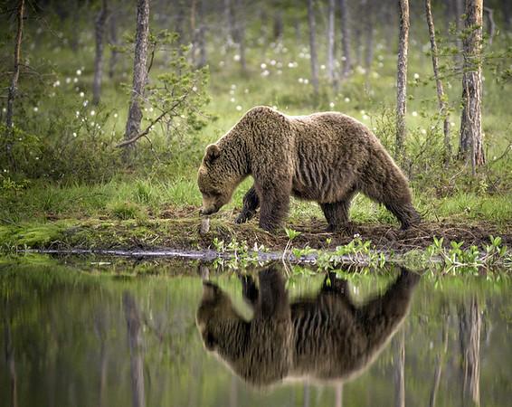 Annie Nash Brown bear by the lake