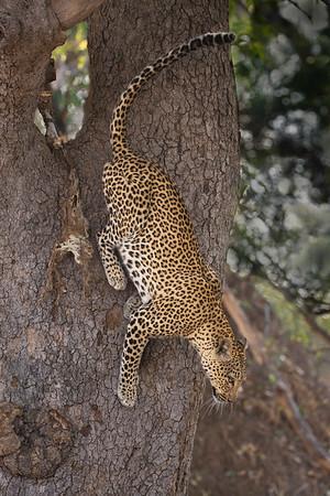 Zambian leopard