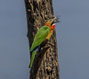 African Bee-Eater