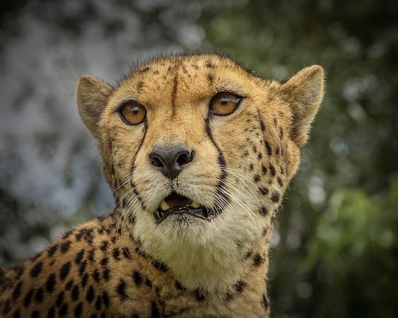 Jackie - Cheetah on the alert