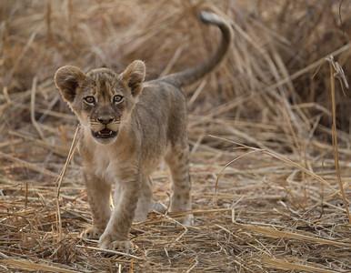 annie nash lion cub