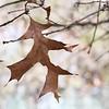 WIN-A-Grace Hill-Last Leaf of Winter