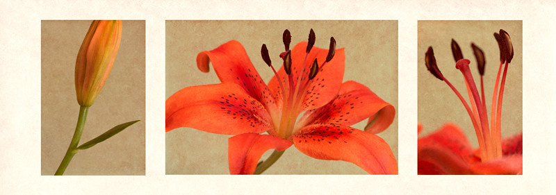 Orange lily triptych