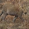Young Leopard (Panthera Pardus)