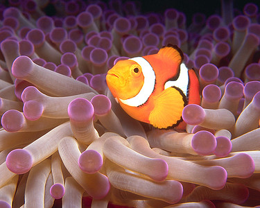 Clownfish w/ Purple Anemone