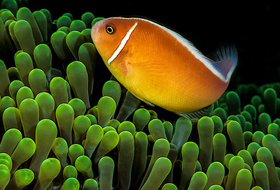 3-Intermediate-Open-1-Don_Trowbridge-Clownfish_Anemone_2