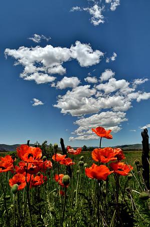 3-Intermediate-Open-DNP-Kristen_Johnson-Poppies_And_Clouds