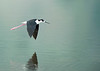 4-Advanced-Assigned_-_Saline_Visions_The_Last_of_the_Bo-DNP-Claudia_OGrady-Black_Necked_Stilt_Farmington_Bay