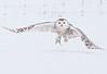 A291_Snowy_Owl