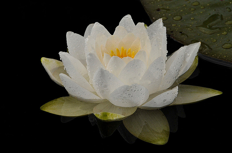 A167_2015_-_2016__Raney_-_Water_Lilly