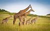 Giraff Herd