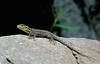 Leaping lizard at Machu Picchu.