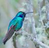 A115_hummingbird_costa_rica_final