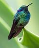 A128_Hummingbird_on_Folliage