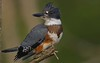 A76_kingfisher