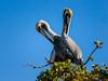 A43_Cuddling_pelicans