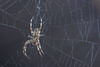 Western Spotted Orbweaver at home