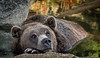 Brown Bear Having a Thoughtful Moment