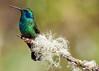 Elegant Hummingbird