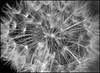 A128_Dandelion_head_of_seeds_Monochrome_for_ECC
