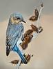 Female Bluebird On Burs