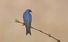 A76_treeswallow
