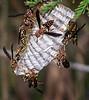 Wasp Builders