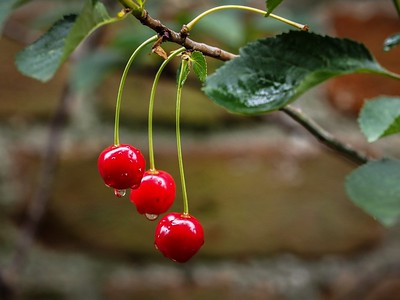 Ornate Cherries (second)