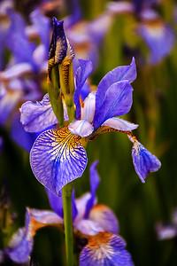 Broomfield Park - Iris