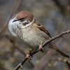 Tree Sparrow with Feather