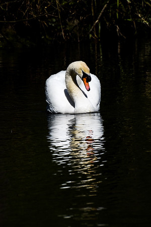 Swan patrol