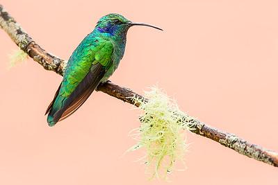 Sparkling Violetear Hummingbird (Colibri coruscans)