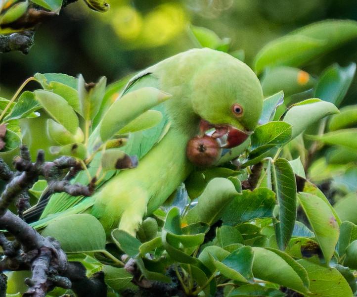Parakeet eating a pear