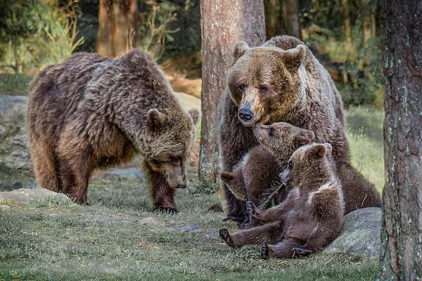 Brown Bears Resting