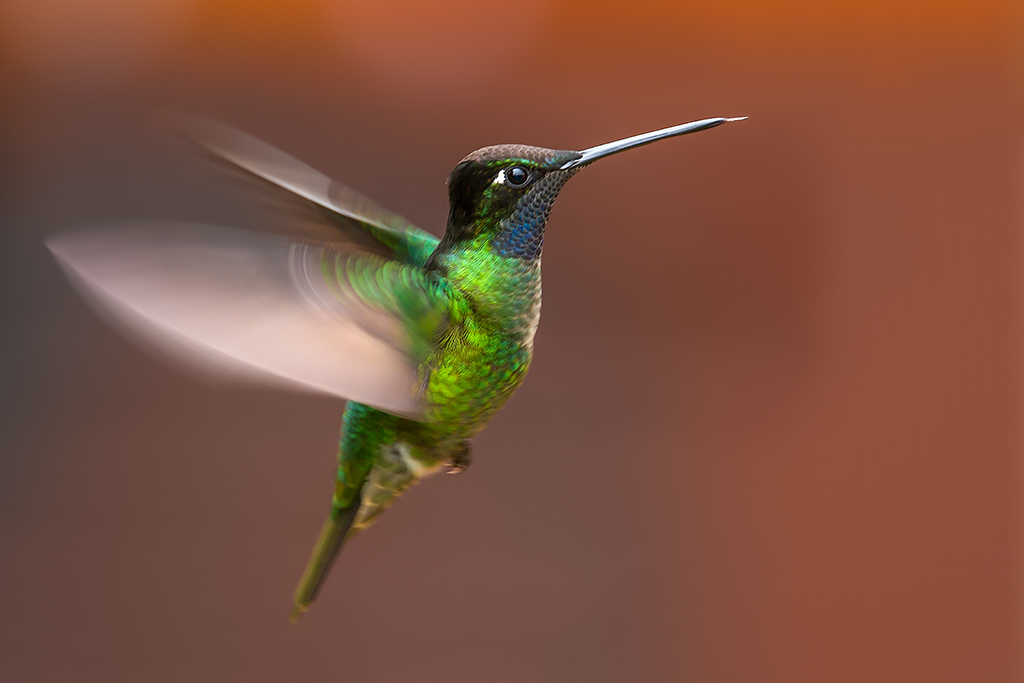 Magnificent Hummingbird (Eugenes fulgens - male)