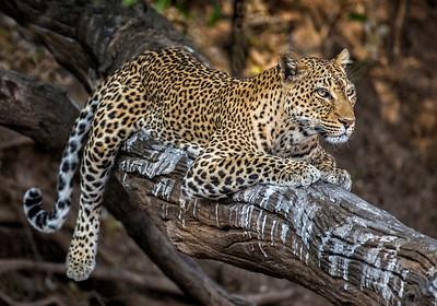 Annie Nash  Leopard resting