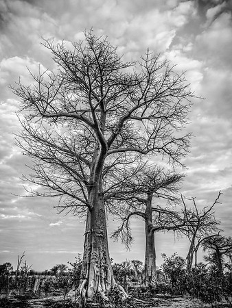 Annie Nash Baobab forest