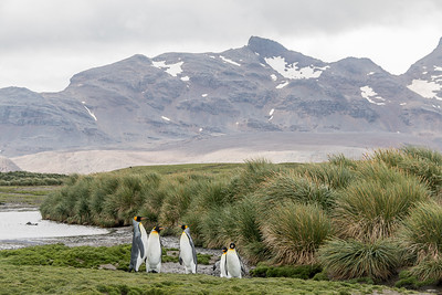 King Penguins at Gold Harbour
