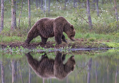 Brown bear at the pond