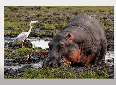 Hippos & Friends in Chobe National Park