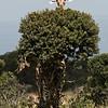 TRE-A-Pat Anderson-Giraffe Tree in Bloom
