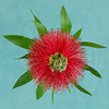 New Zealand Bottle Brush